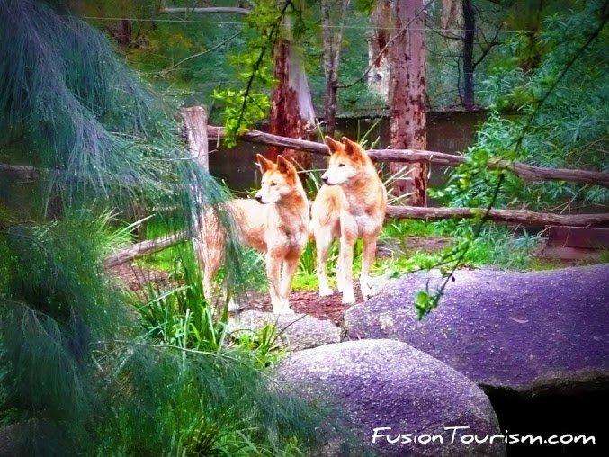 dingo dogs