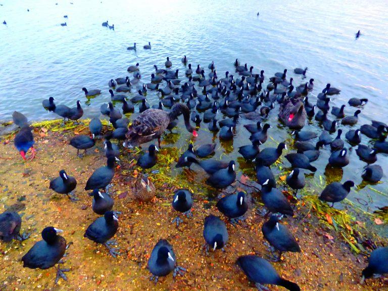 Lake Wendouree Wildlife in Ballarat